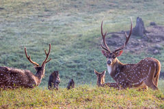 Spotted deers in forest Stock Photos
