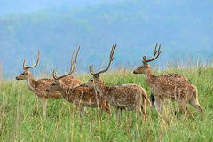 Spotted deers at grasslands. Spotted deers at grass land-Antlers -Axis axis-also known as chital deer, spotted deer or axis deer, is a deer which commonly Stock Photos