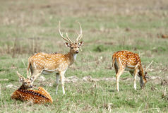 Spotted deers grazing in the grassland Stock Image