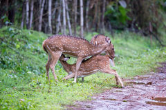 Spotted deers mother and calf Stock Images