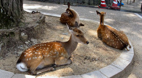 Spotted deers on the streets of Nara. Free walking spotted deers on the streets of Nara, Japan royalty free stock photo