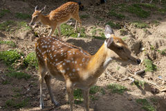Spotted deers. Two red spotted fawns the Park Namuang the East journey Thailand Royalty Free Stock Photography