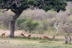 Spotted deers under a tree Stock Photography