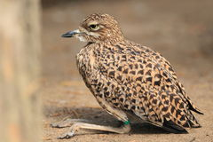 Spotted dikkop Royalty Free Stock Photo