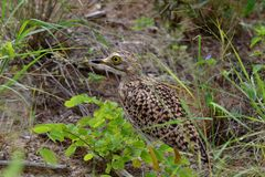 Spotted dikkop bird Royalty Free Stock Photo