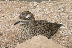 Spotted Dikkop Bird at Rest. Spotted Dikkop or Berhinus Capensis bird resting on the ground royalty free stock images
