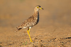 Spotted Dikkop Stock Images