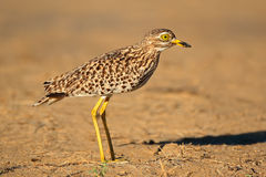 Spotted Dikkop Royalty Free Stock Photography