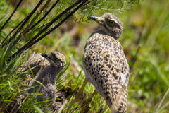 Spotted Dikkop (Burhninus capensis) Stock Images