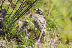 Spotted thick-knee(Burhninus capensis) Royalty Free Stock Image