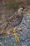 Spotted Dikkop on road Stock Image