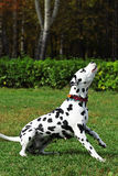 Spotted dog Dalmatian walks with the Park, engaged in training Stock Photos