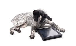 Spotted dog lying down, looking at a computer tablet Royalty Free Stock Photo