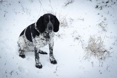 Spotted dog Sitting in the snow hound. Stock Photo