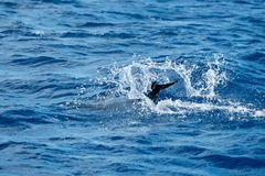 Spotted dolphin dives beneath the ocean. A spotted dolphin diving and showing his tail flukes  in Pico Island Azores Royalty Free Stock Photo