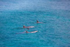 A spotted dolphin family leaping out of the clear blue Maldives water. Marine life in Maldives. Maldives sea-life and blue sea. Dolphins enjoying sunny day and stock images