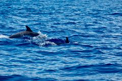 Spotted dolphins swimming in the blue ocean Royalty Free Stock Photo
