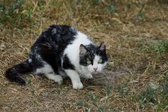 Spotted domestic cat sitting in the yard on the grass Stock Images