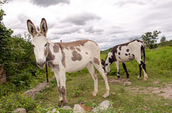 Spotted donkeys. Two spotted donkeys in field Royalty Free Stock Image