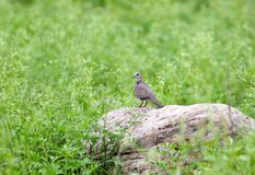 Spotted dove stock image