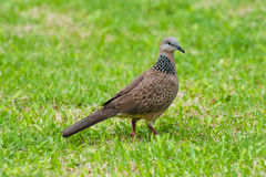 Free Spotted Dove Royalty Free Stock Image - 19522816