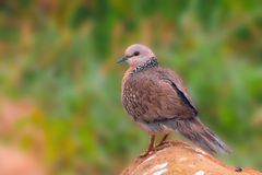 Spotted dove Royalty Free Stock Images