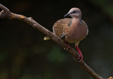 Spotted Dove. Royalty Free Stock Images