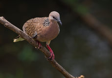 Spotted Dove. Royalty Free Stock Image