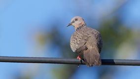 Spotted dove. Royalty Free Stock Photos