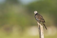 Spotted dove in Arugam bay lagoon, Sri Lanka Royalty Free Stock Image