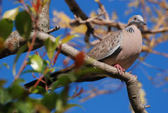 Spotted Dove. Australian Spotted Dove (Spilopelia chinensis) sitting on a tree. Horizontal  version Stock Photo