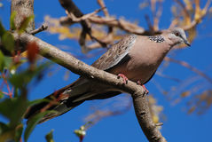 Spotted Dove. Australian Spotted Dove (Spilopelia chinensis) sitting on a tree. Horizontal version Royalty Free Stock Photo