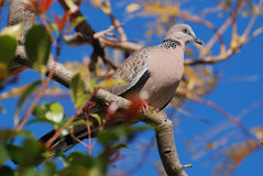 Spotted Dove. Australian Spotted Dove (Spilopelia chinensis) sitting on a tree. Horizontal version Royalty Free Stock Photography