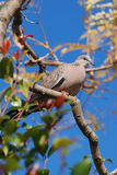 Spotted Dove. Australian Spotted Dove (Spilopelia chinensis) sitting on a tree. Vertical version Stock Photo