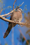Spotted Dove. Australian Spotted Dove (Spilopelia chinensis) sitting on a tree. Vertical version Stock Photos