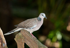 Spotted dove Royalty Free Stock Image
