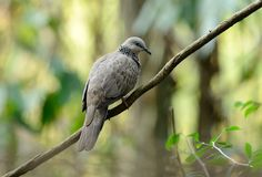 Spotted dove Royalty Free Stock Photography