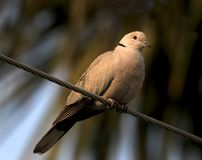 Spotted dove. Beautiful shot of indian spotted dove Stock Image