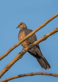 Spotted Dove bird Stock Images