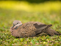 Spotted Dove Bird Royalty Free Stock Photos