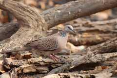 Spotted dove bird Royalty Free Stock Images