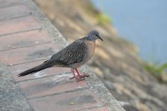 Spotted Dove Royalty Free Stock Photo
