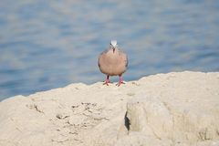 Spotted Dove. The close-up of a Spotted Dove stands on rock. Scientific name: Streptopelia chinensis Royalty Free Stock Photography