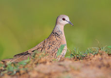Spotted Dove stock photo