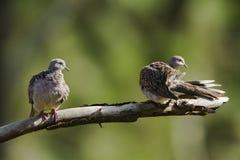 Spotted dove in Ella, Sri Lanka Royalty Free Stock Photos