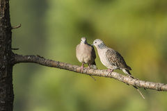 Spotted dove in Ella, Sri Lanka. Specie Streptopelia chinensis Stock Image