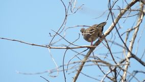 Spotted dove flying away. Footage of spotted dove resting on the dry tree branch and flying away stock video footage