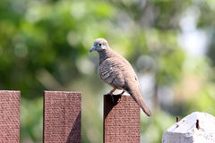 Spotted Dove. In green nature background Royalty Free Stock Image