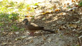 Spotted dove on the ground stock video