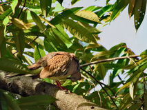 Spotted Dove With Its Head Bent Down. A Spotted Dove, Streptopelia chinensis, perching on a Durian tree branch with its head bent down - looking very much like Royalty Free Stock Photo